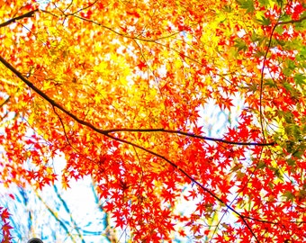 Autumn Foliage Photo, Autumn Wall Art, Fall Decor, Fall Wall Art, Maple Leaves Wall, Nature Photography, Home Decoration, 15x30, 20x40