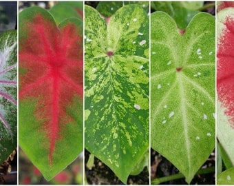 Caladium- Grower's Choice!, live plant, potted