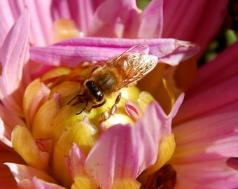 I6 - Bee in Pink Flower