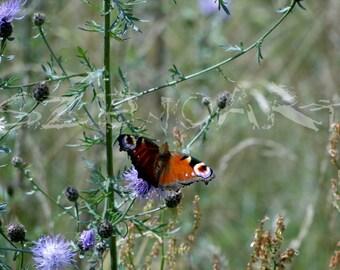Butterflies like flowers, butterfly, beautiful, color,Meadow,field,grain,blooming flowers,landscape,unique,natural beauty,beautiful world