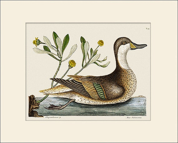 Bird Print, Ilatheria Duck, Catesby, Art Print with Mat, Natural History Illustration, Wall Art, Wall Decor, Vintage Bird Print