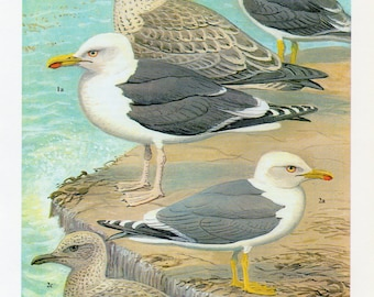 1960's Ornithology Plate - 1960's Bird Lithograph featuring various Sea Gull's