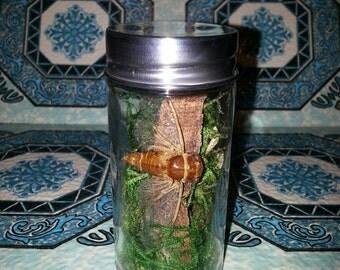 Cicadidae (Golden Cicada)