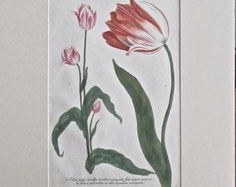 Weinmann tulip botanical
