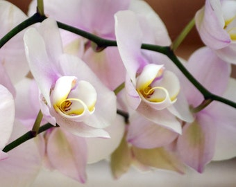 Delicate Orchids