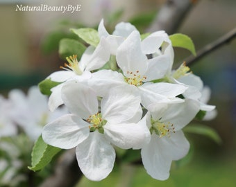 Apple tree blossom, white, apple, tree, blossom, spring, flower photography, nature photography, wall art, print, nature print
