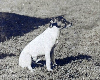 Vintage photo 1910 Jack Russell Terrier Dog Profile on Lawn