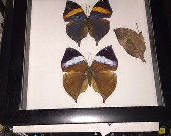 India Leaf Butterfly Trio