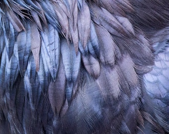 Raven Feather Close Up, Throat Feathers in Glowing Blue and Purple - Signed Fine Art Print by June Hunter, Crow Lover Gift