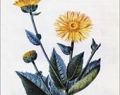 PRINT SALE 20% OFF Vintage 1970  Elecampane  Flower Medicine, Herbal Plants Print for Framing, Botanical Print, Flower Print