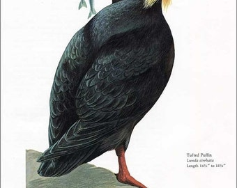 PRINT SALE 20% OFF Vintage 1960's Tufted Puffin Bird Print for Framing, Marie Bohlen Illustration, North American Birds Large Bookplate