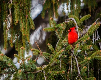 "Sweet Winter Cardinal - 4 x 6""  Photographic Print"