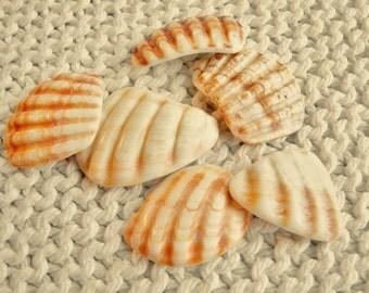 6 Scallop Shell Wing Fragments -- Very Large Pendant Sizes (SH32) Mediterranean sea shell shards, Ridged Seashells