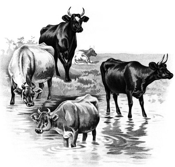 cows printable wall art black and white artwork digital art graphics image download farm ranch animals Heffer bovine prints home living room