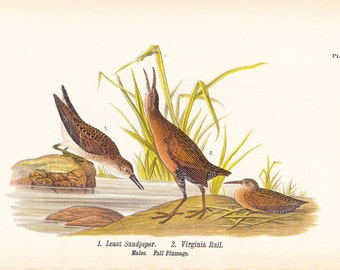 1890 Audubon Bird Print - Least Sandpiper Virginia Rail - Vintage Antique Book Plate Natural Science History Great for Framing 100 Years Old