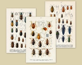 Antique Beetle Prints - Set of Three Prints - 1912 Vintage Prints - Set 5 - Home Decor