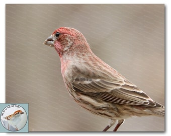Finch Photograph Bird Songbird Photography 8x10 Wall Decor Purple Finch Neutral Colors Fine Art Photo Bird Closeup Gift Under 30
