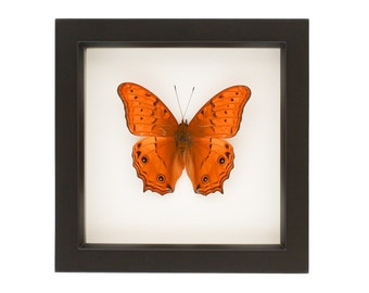 Framed Cruiser Butterfly Insect Art
