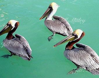 Young Pelicans - 16x20 Mat