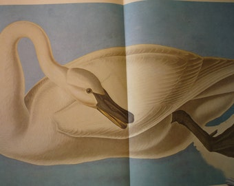 Vintage - Trumpeter Swan - Audubon Print - Color Plate from original 1823 print -
