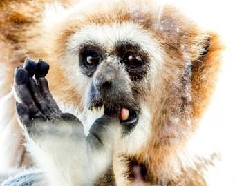 Richmond Zoo Gibbon