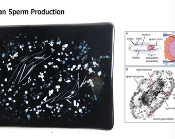 Planarian Sperm Production Fused Glass Dish