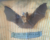 Blyths Horseshoe Bat Taxidermy Specimen in Shadowbox - 13x11x2""