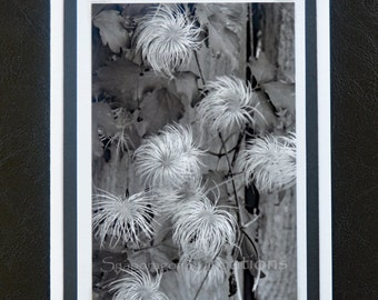 Photo Greeting Card, White Flower Seed Heads on Vine, Black and White, Nature, Blank Inside