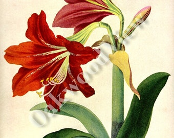 Hybrid Amaryllis Print, 1948 Vintage 10x14 Color Floral Home Decor, Flower Flowers, Botany Botanical Art, FREE SHIPPING