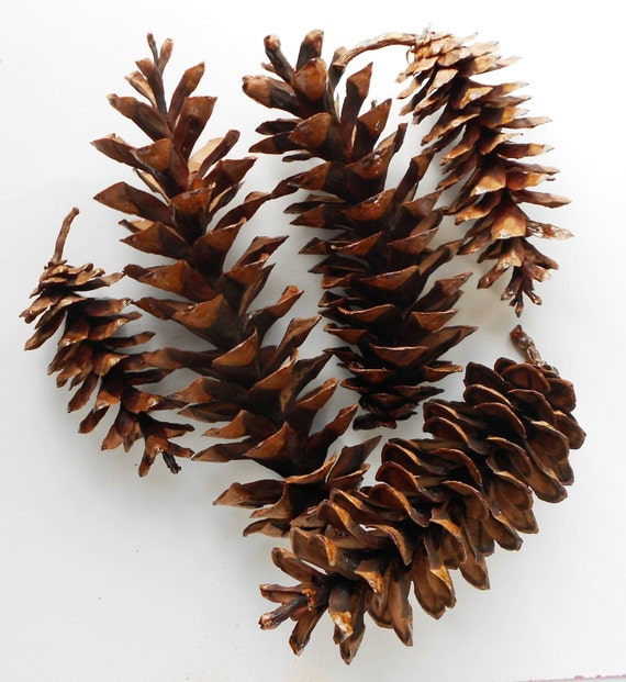 10 long white pine cones handpicked for crafting for Long pine cones