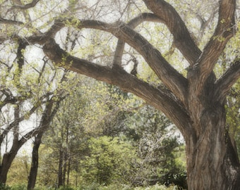 Tree Photography Print 12x18 Fine Art New Mexico Forest Woodland Rustic Field Nature Spring Landscape Photography Print.