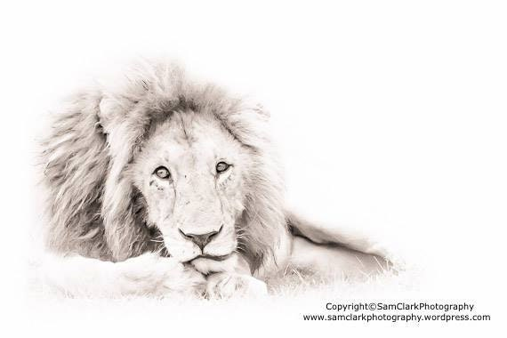 WILDLIFE PHOTOGRAPHY -  LION Animal Photography, Safari Animals, African Photography, Nature photography, Wall Art
