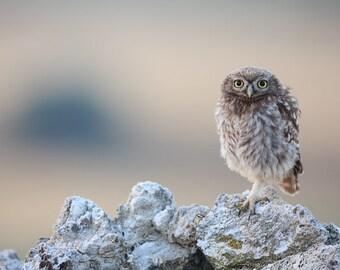 Nature Photography, Owls, Home Decor, Wall Art, Fine Art Print, Photography, Gift for him, Christmas gift idea, Art Print, Owl, Cute