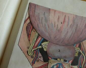 Mature Content Medical Anatomical Model, Male Penis / genitals, Circa 1920