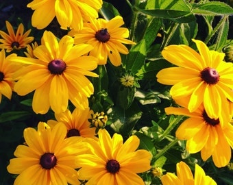 Rudbeckia Seeds, Indian Summer Black Eye Susan Seed, Rudbeckia hirta, Gloriosa Daisy Great for Butterfly Gardens and Bird Gardens