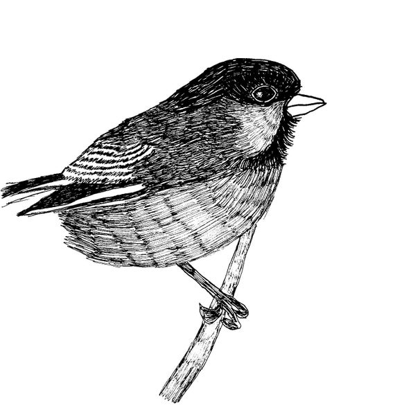 Bird Drawing of a Black-Capped Chickadee Drawing and