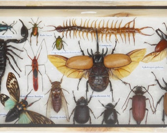 REAL Multiple INSECTS BEETLES Cicada Centipede Scorpion Collection in wooden box/is08WW
