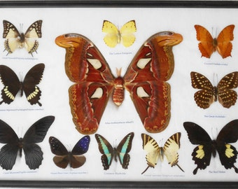 REAL 11 BEAUTIFUL BUTTERFLIES Moth Collection in frame/B10R