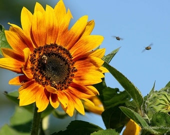 Busy As A Bee, Sunflower, Photography,  Nature Photography, Floral Photography