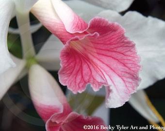 Cattleya Orchid Fine Art Photo Print