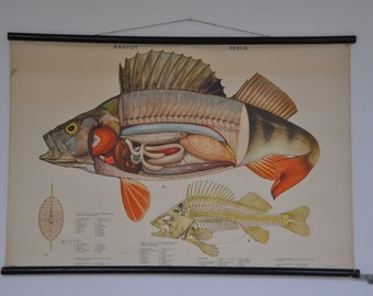 10% OFF Authentic Vintage Pull Down School Chart. Fish. Perch. Lake. Freshwater. Mid Century Poster. 1137