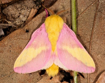 ONE Real Butterfly Pink Yellow Rosy Maple Moth Indiana