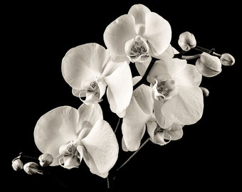 Orchids - Photography Print