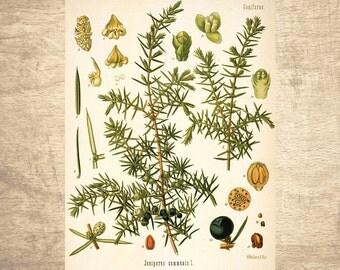 Juniper Botanical Illustration - giclee print, choose your size - Botanicals, Vintage, Illustrations, Poster Art, Decor, Botany