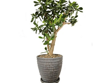 "Jade Plant Crassula Ovata 12 Year Old 28"" Tall Plant in a White Modern Minimalist Planter #380"