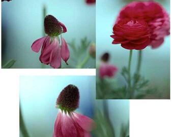 Ranunculus Set of Three 4x6 Floral Photos, Pink Ranunculus Photographs, Save on a set of 3 Ranunculus Prints