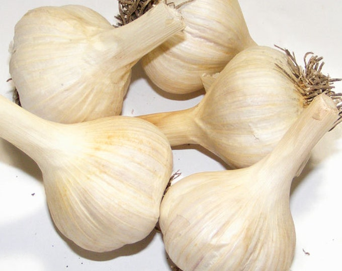 Music Garlic Bulbs Organic Grown Non-GMO Hard Neck Gourmet 1/2 Pound Porcelain Variety For Planting or Cooking Fall Shipping