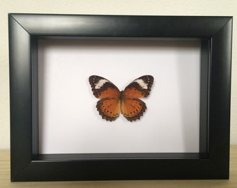 Real Butterfly // Cethosia penthesilia // Taxidermy Butterfly // Framed Butterflies // Dried Butterflies