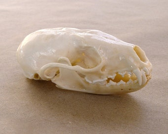 Adirondack Fisher Skull, taxidermy, bones and skulls