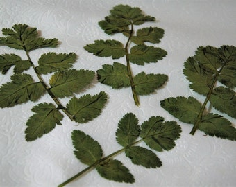 Dried Pressed Leaves / Botanicals. Large Storks Bill leaves.